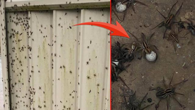 Australia is a disaster of 100 years Venomous spiders that kill people in 10 minutes raid homes 2