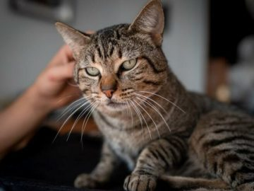 Covid 19 transmitted from human to domestic cat