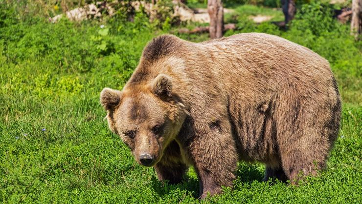 The bear ate the woman who went out to walk her dogs