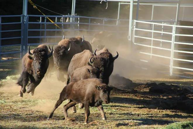 There have been more than 45000 applications for the hunt in the US due to the increase in buffalo in the Grand Canyon 1