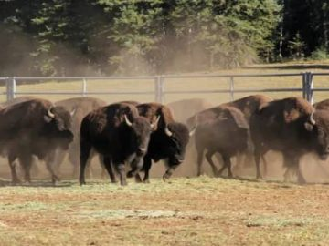 There have been more than 45000 applications for the hunt in the US due to the increase in buffalo in the Grand Canyon.